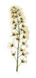 I fiori urgenti e secchi spazzolano la uccello-ciliegia, isolata Fotografia Stock