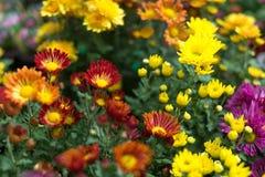 I fiori variopinti Fotografie Stock Libere da Diritti