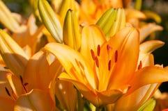I fiori variopinti dei gigli si chiudono sul colpo Immagine Stock