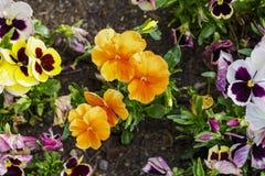 I fiori variopinti della pansé sono blommong nel giardino immagine stock