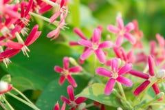 I fiori variopinti, i fiori indica di Quisqualis, Combretum fiorisce Fotografia Stock