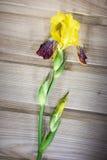 I fiori variopinti sull'iride variopinta del fondo di legno fioriscono Immagine Stock