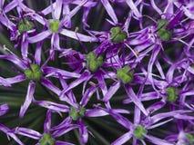 I fiori viola della cipolla decorativa del aflatunense dell'allium strutturano il primo piano, il fuoco selettivo, DOF basso Immagine Stock