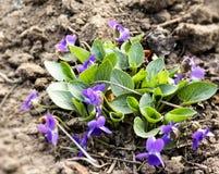 I fiori viola delle viole fioriscono in primavera foresta fotografie stock libere da diritti