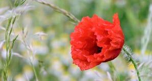 I Flanders fält var vallmo växer Royaltyfria Foton