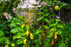 I flox maturi sbiadirsi e della mela in autunno fanno il giardinaggio Fotografia Stock