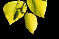 I fogli dell'albero di Linden si sono illuminati dal sole isolato sul nero Immagine Stock