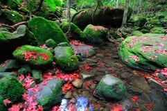 I fogli di acero sono caduti in una foresta Fotografia Stock