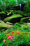 I fogli di acero sono caduti in una foresta Fotografia Stock Libera da Diritti