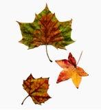 I fogli di autunno hanno impostato isolato Fotografia Stock Libera da Diritti