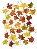 I fogli di autunno hanno isolato Fotografia Stock