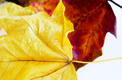 I fogli di autunno si chiudono in su Immagine Stock Libera da Diritti