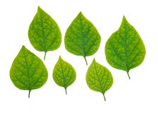 I fogli di verde hanno impostato Immagine Stock