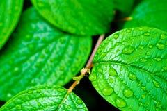 I fogli luminosi verdi con pioggia cade il backgro della natura Immagine Stock