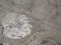 I fossili dell'ammonite si chiudono su fotografia stock