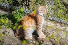 Lynx. I found this beautiful animal in Skansen, a zoo park with open areas where you can find nordic fauna Stock Photography