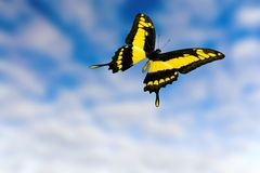 I am free. Butterfly on blue and cloudy sky Royalty Free Stock Image