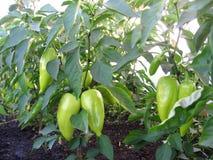 I frutti del peperone verde si sviluppano sulla terra nel giardino fotografia stock libera da diritti