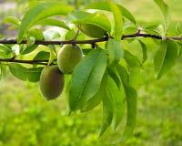 I frutti dell'albicocca verde si sviluppano su un ramo nel giardino Giovane albicocca non matura verde fotografia stock libera da diritti