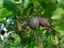 I frutti dell'uva spina fotografie stock libere da diritti