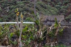 I frutti della banana e della papaia si sviluppano sul campo Fotografie Stock