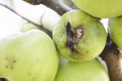 I frutti hanno infettato dal venturia inaequalis della ticchiolatura del melo immagini stock libere da diritti
