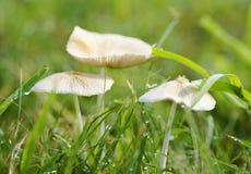 I funghi bianchi fragili minuscoli gradiscono le case leggiadramente con le gocce di rugiada Immagini Stock