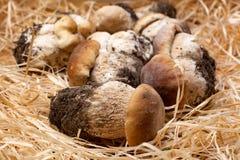 I funghi commestibili saporiti dell'intero boletus bianco crudo fresco si chiudono su fotografie stock