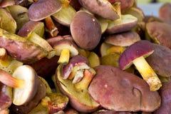 I funghi di badius del boletus si chiudono in su Immagini Stock Libere da Diritti