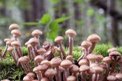 I funghi di Honey Agaric si sviluppano su un albero nella foresta di autunno Fotografia Stock Libera da Diritti