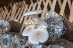 I funghi di ostrica stanno sviluppando in azienda agricola. Immagini Stock