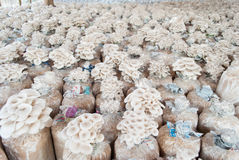 I funghi di ostrica stanno sviluppando in azienda agricola. Fotografia Stock Libera da Diritti