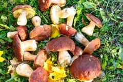 I funghi di Porcini sono bianchi con le foglie gialle su erba verde Fotografia Stock Libera da Diritti