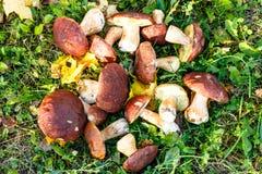 I funghi di Porcini sono bianchi con le foglie gialle su erba verde Fotografie Stock Libere da Diritti