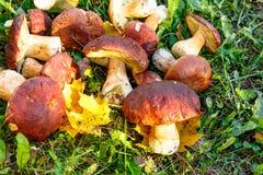 I funghi di Porcini sono bianchi con le foglie gialle su erba verde Immagine Stock