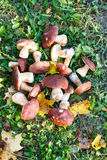 I funghi di Porcini sono bianchi con le foglie gialle su erba verde Fotografia Stock