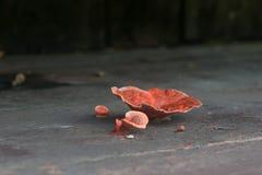 I funghi riguardati il pavimento di legno davanti alla casa ined Fotografia Stock Libera da Diritti