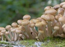 I funghi si sviluppano in autunno nell'armillaria mellea di legni fotografie stock