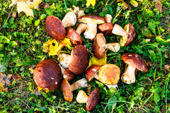 I funghi sono bianchi con le foglie gialle su erba verde Immagine Stock
