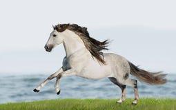 I funzionamenti andalusi bianchi del cavallo (Pura Raza Espanola) galoppano nel summe Fotografia Stock