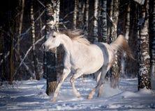 I funzionamenti arabi liberi del cavallo liberano nel campo Fotografie Stock Libere da Diritti