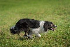 I funzionamenti del cane da pastore radrizzano pieno fuori Fotografia Stock Libera da Diritti