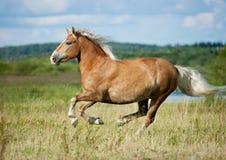 I funzionamenti del cavallo del palomino liberano Fotografia Stock
