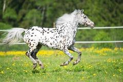I funzionamenti del cavallo di Appaloosa galoppano sul prato nell'ora legale immagine stock
