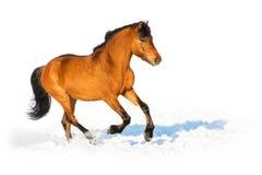 I funzionamenti del cavallo di baia galoppano sui precedenti bianchi Fotografie Stock