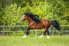 I funzionamenti del cavallo di Vladimir Heavy Draft della baia galoppano sul prato fotografie stock libere da diritti