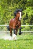 I funzionamenti del cavallo di Vladimir Heavy Draft della baia galoppano sul prato immagini stock libere da diritti