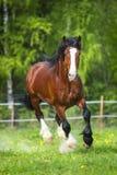 I funzionamenti del cavallo di Vladimir Heavy Draft della baia galoppano sul prato immagini stock