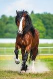 I funzionamenti del cavallo di Vladimir Heavy Draft della baia galoppano sul prato fotografie stock