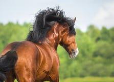 I funzionamenti del cavallo di Vladimir Heavy Draft della baia galoppano sul prato fotografia stock